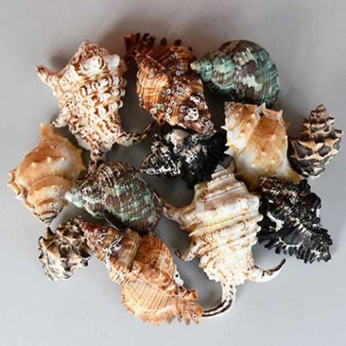 Sea Shells Conch Shells Decorative Ornaments Decorative