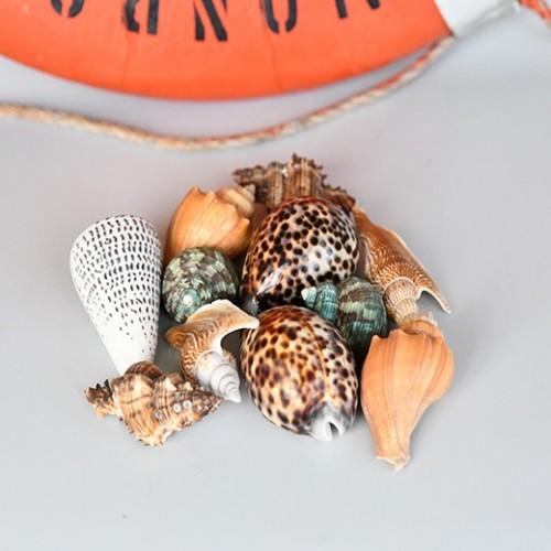 Sea Urchin Shells Natural Conch