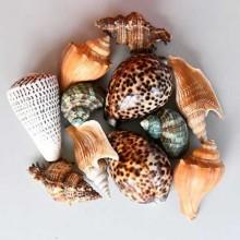 Äkta snäckor, Hav Prydnad Marin Inredning / ocean shells, 10 st